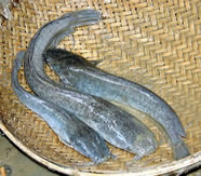 image of african catfish, clarias, in bangladesh - image from nefisco.org